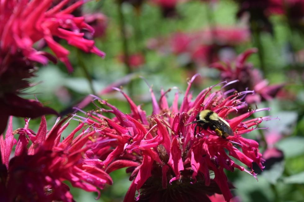 Bumblebees like Monardas.