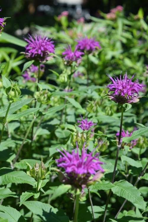 'Purple Rooster' bee balm