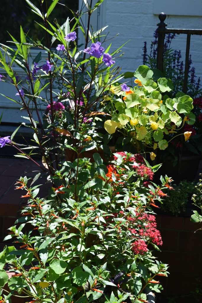 Containers on the front stoop: cigar plant, star flower, Mexican petunia, nasturtium.