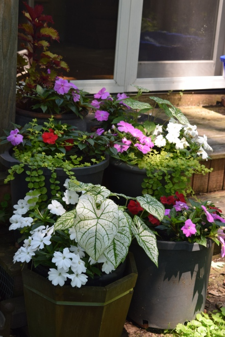 Caladium, New Guinea Impatiens, and golden creeping jenny in the back containers.