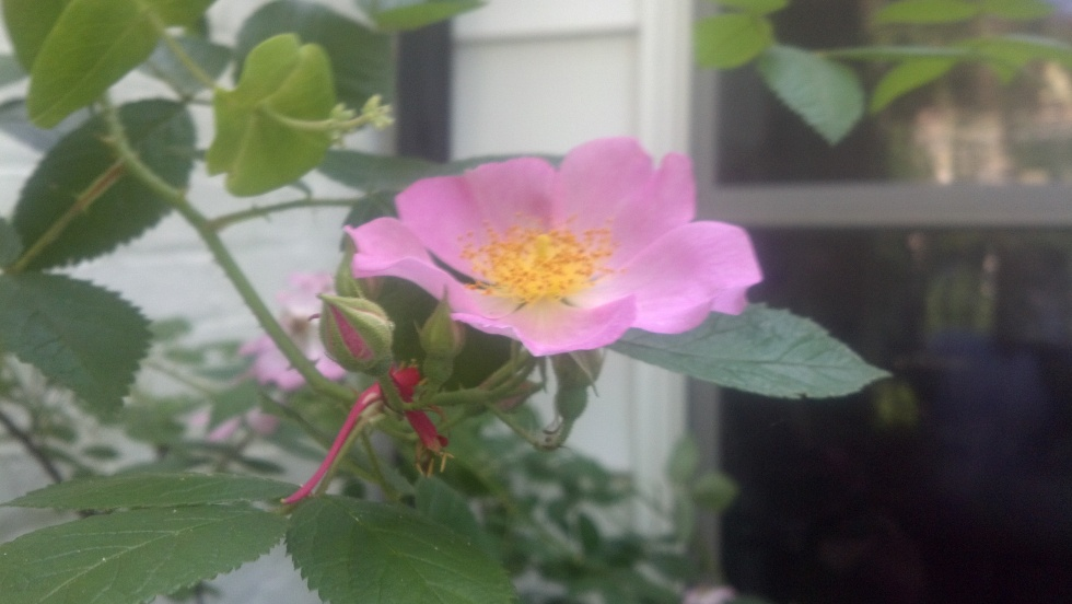 Prairie Rose. I took this with my phone, sorry it's a little fuzzy.