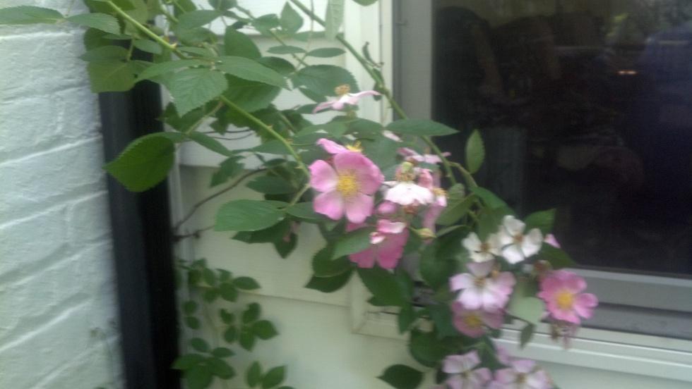 Prairie rose.