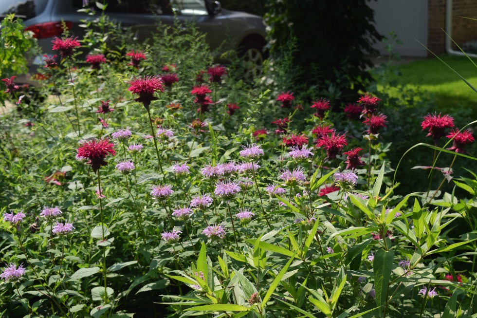Wild Bergamot and Bee Balm 'Raspberry Wine' spread mightily by root, like other members of the mint family.