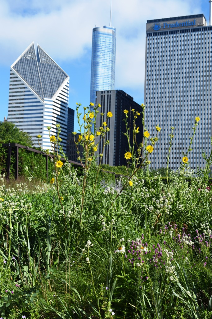 More compass plant against the skyline.