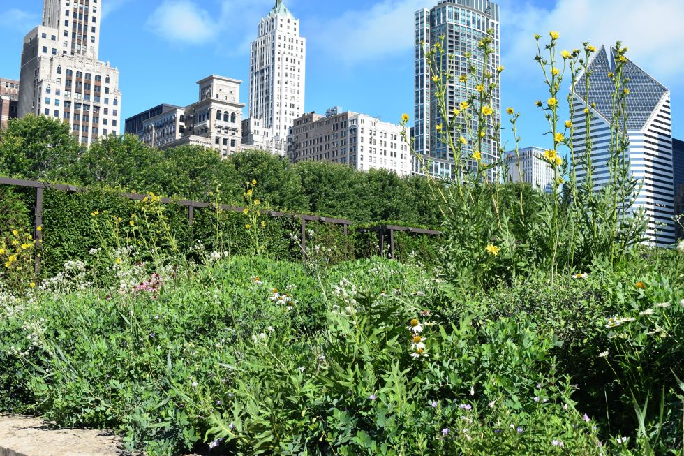Compass plants (Silphium  laciniatum) echo the Chicago skyline, or is it the other way around?