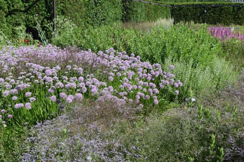 Big drifts of 'Summer Beauty' Allium are gorgeous in July.