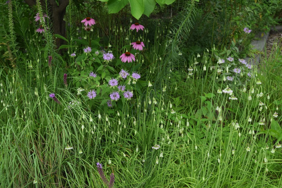 Nodding onion with purple coneflowers and wild bergamot.