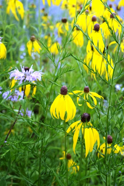 Yellow Coneflower and Wild Bergamot