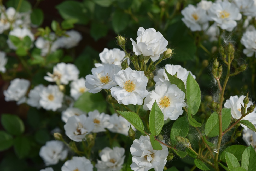 'Cassie' overflows with small white flowers in June and July.