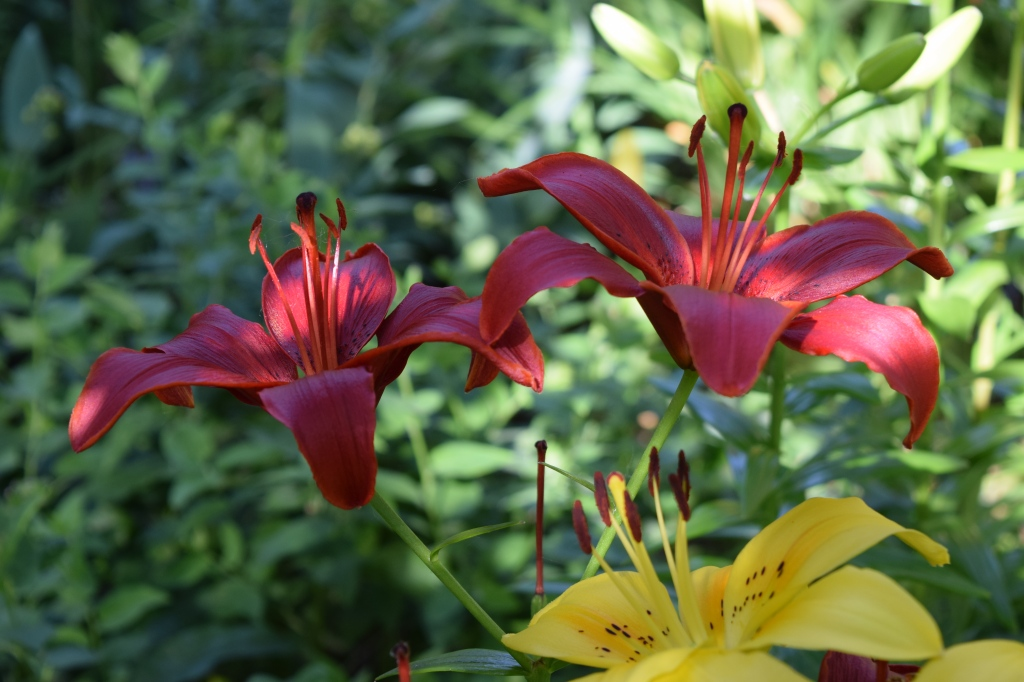 More Asiatic lilies
