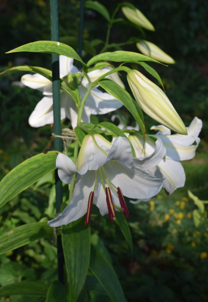 I did a rather clumsy job of staking because I am not taking any chances. Other 'Casa Blanca' lilies in my garden have met tragic accidents.