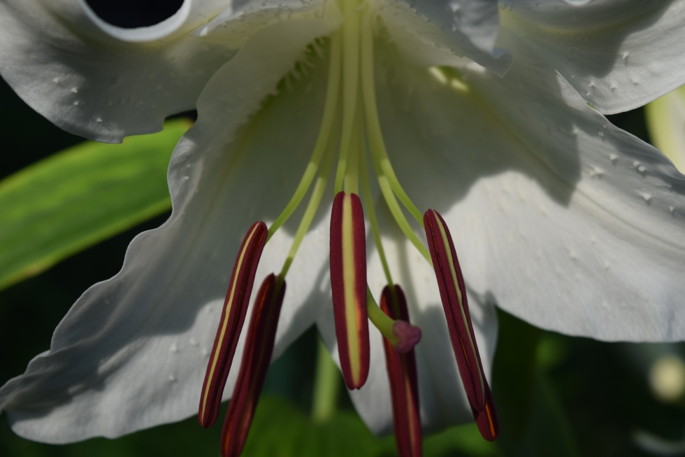 The lily that almost shocked the neighbors.