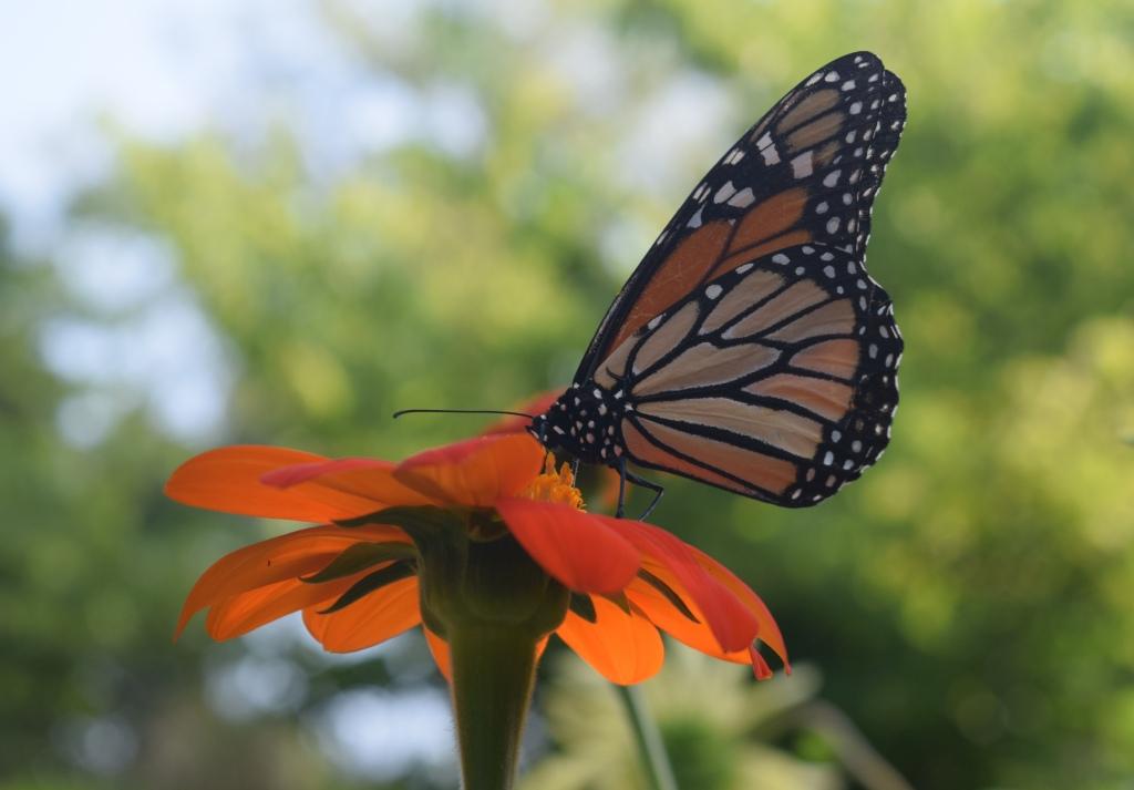 2014-08-01 08.53.32 monarch butterfly
