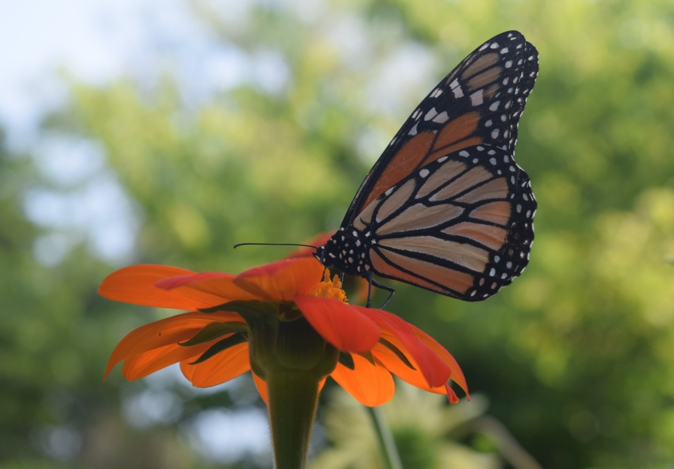 Monarch on Mexican Sunflower.