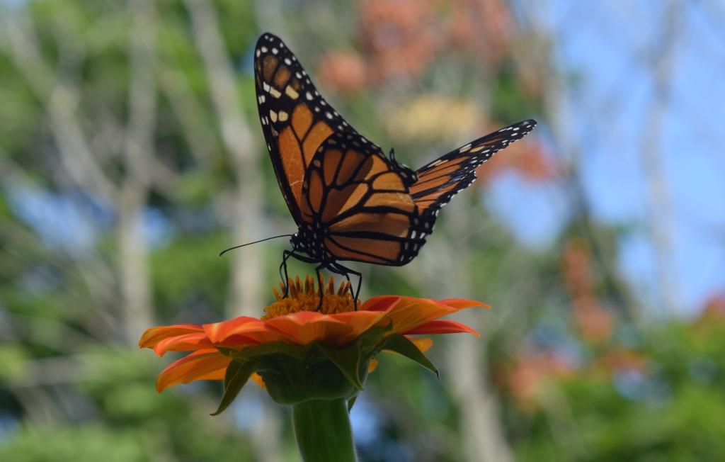 2014-08-01 08.57.58 monarch butterfly