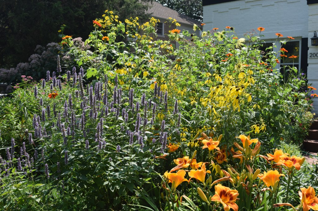 Blue spikes of anise hyssop, yellow coneflowers, Tithonia and annual sunflowers. The 'Eye-yi-yi' daylilies bloom from mid to late summer.