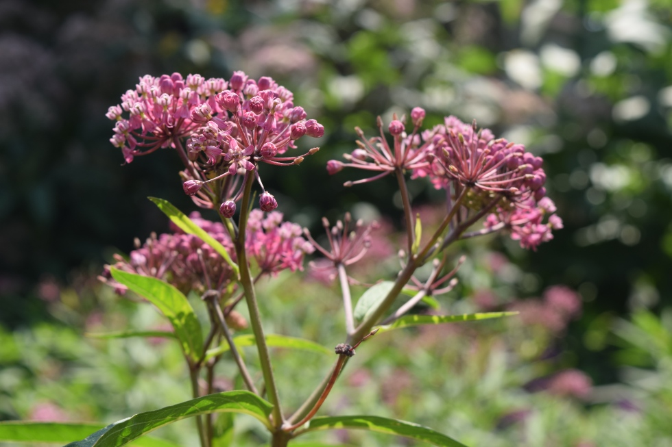 Ditto the swamp milkweed.