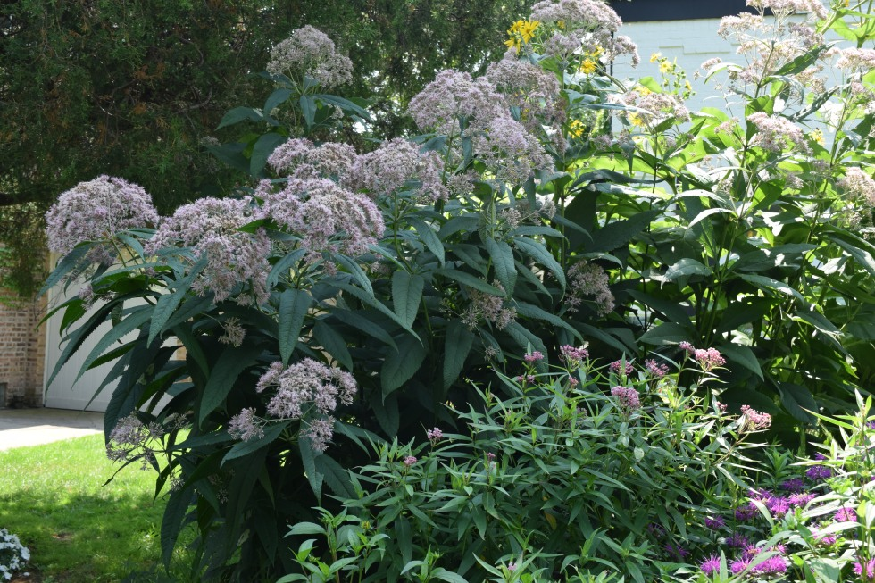 Sweet Joe Pye Weed