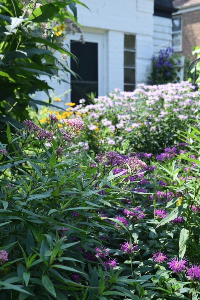 'Purple Rooster' bee balm and swamp milkweed, which grow a mere 3-4', are in front of the really tall guys.