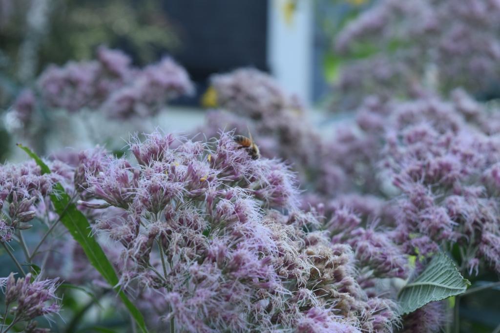 Sweet Joe Pye Weed blooms.