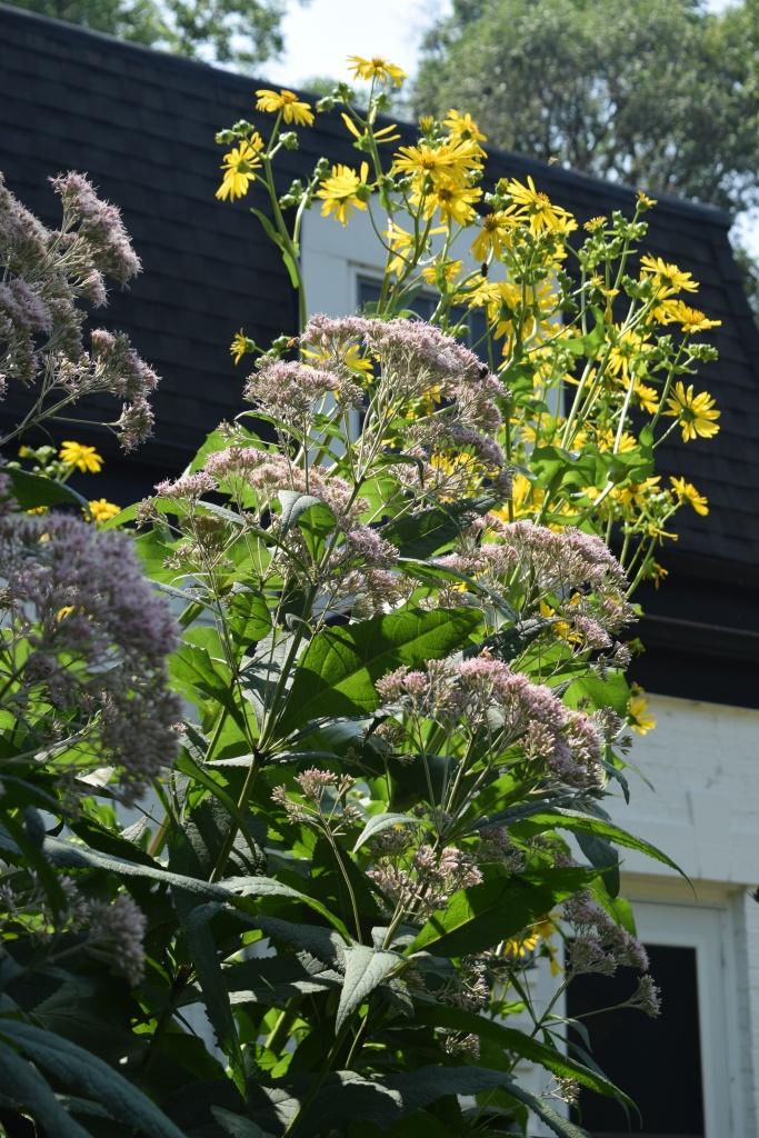 Cupplant and Sweet Joe Pye Weed