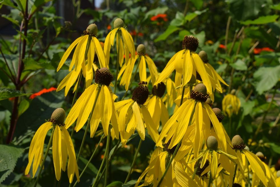 Yellow coneflower, a closer look.