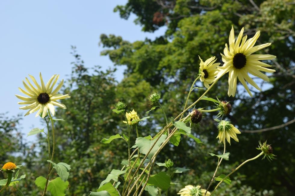 'Italian White' sunflower