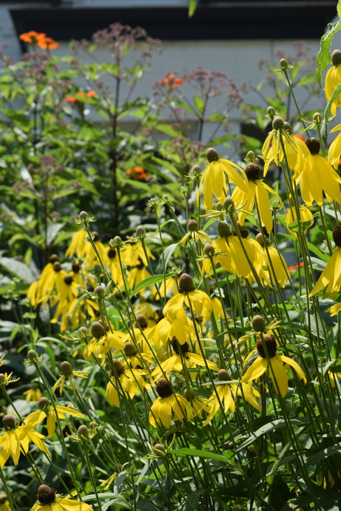 Yellow coneflower with 'Gateway' joe pye weed in the background.