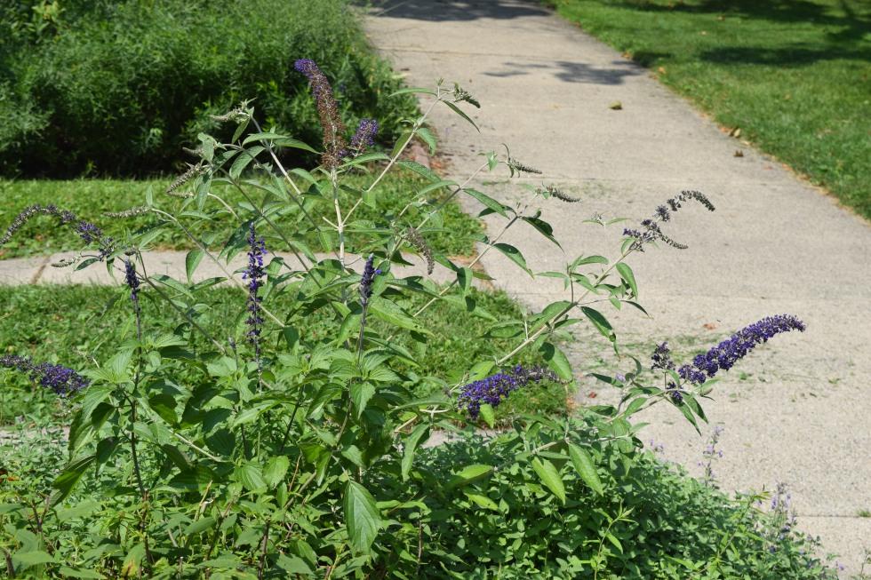 'Adonis Blue' butterfly bush.