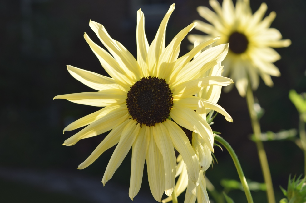 2014-08-09 17.34.04 'Italian White sunflower