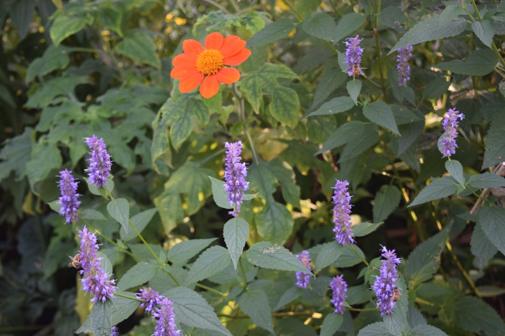 Anise hyssop and Mexican sunflower