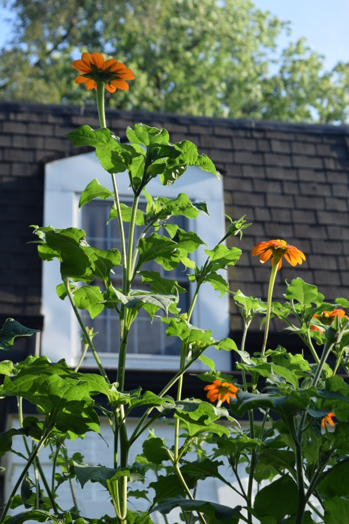 Mexican Sunflowers are an annual, but they can grow pretty tall.