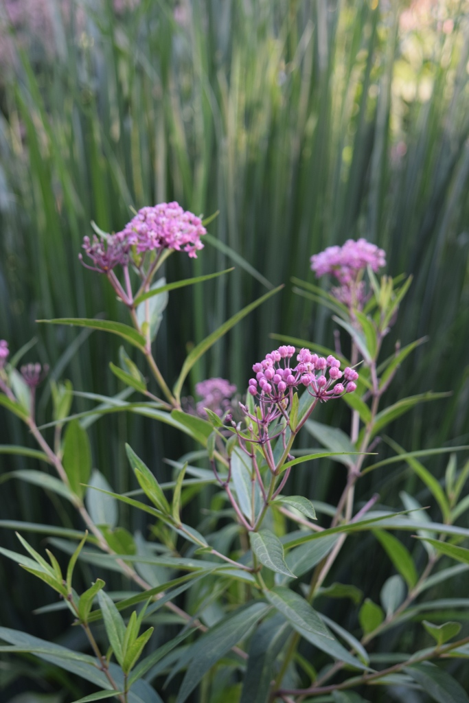 Swamp milkweed with a background of switchgrass.