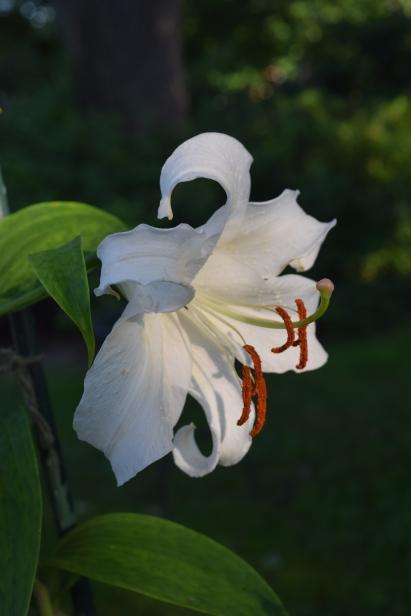 'Casa Blanca' oriental lily