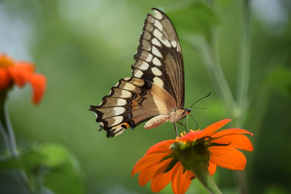 2014-08-23 12.13.54 giant swallowtail