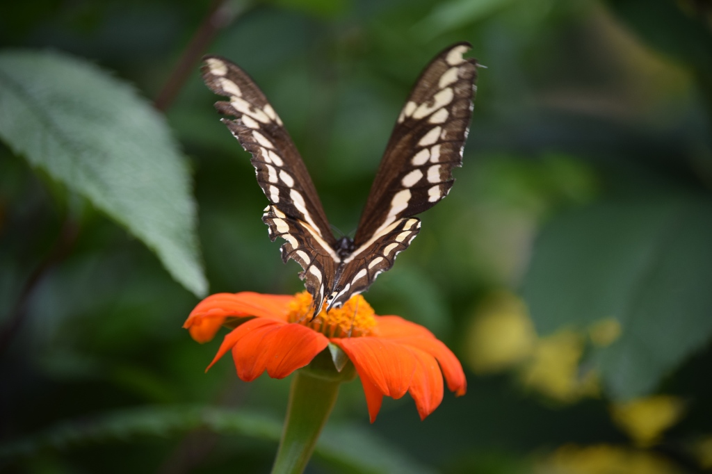 Giant Swallowtail, view from the back.
