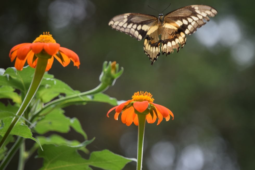 Giant Swallowtail coming in for a landing on Mexican Sunflower.