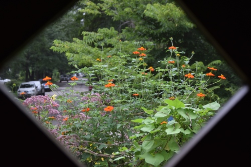 The Driveway Border (post-disaster) seen from the front door window. The one remaining Tithonia seems to be OK.