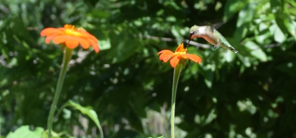 Hummingbird feeding on Tithonia