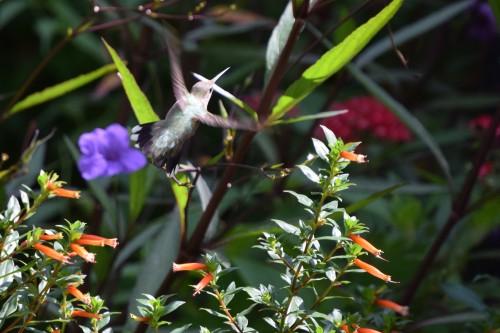 DSC_0797 Hummingbird