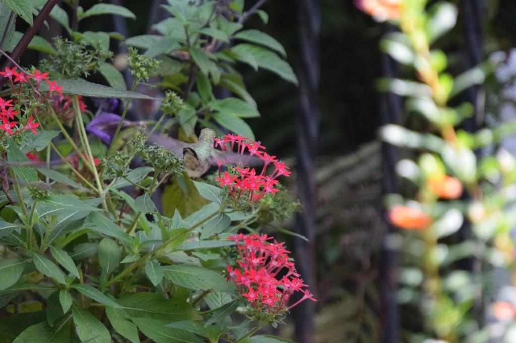 DSC_0799 hummingbird