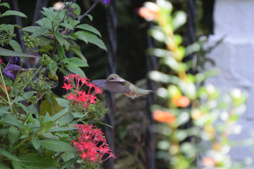 Hummingbird feeding at Star Flower.