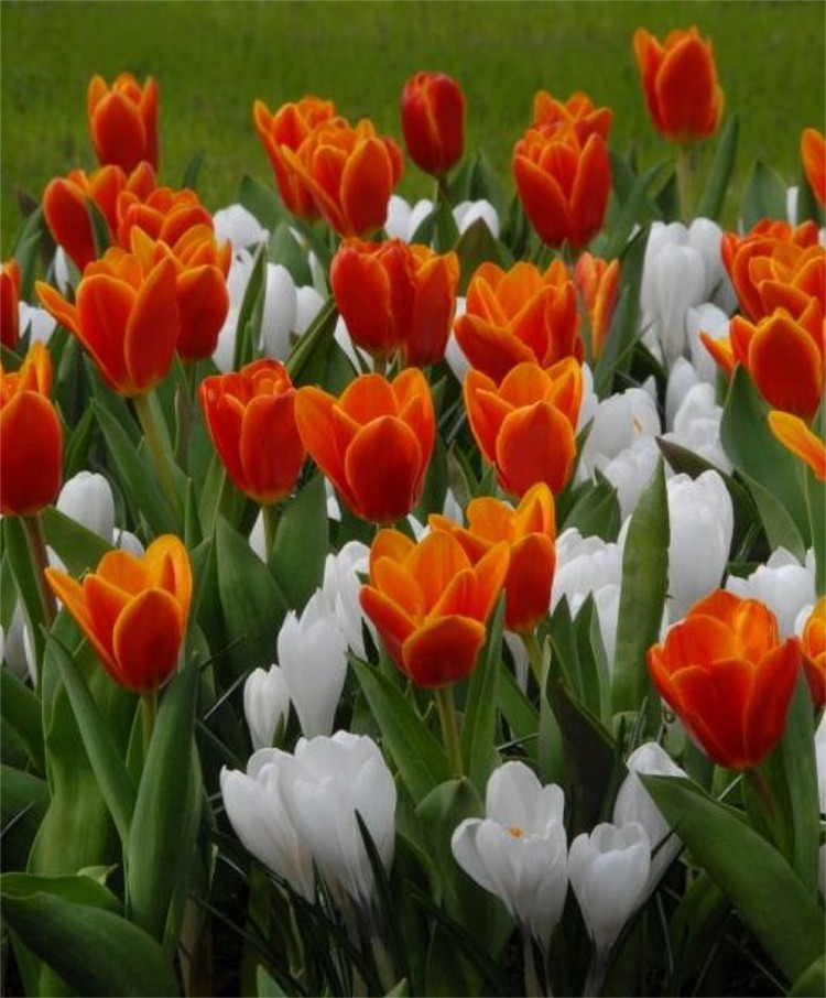 Tulip 'Early Harvest' (with white crocus). Photograph from johnscheepers.com