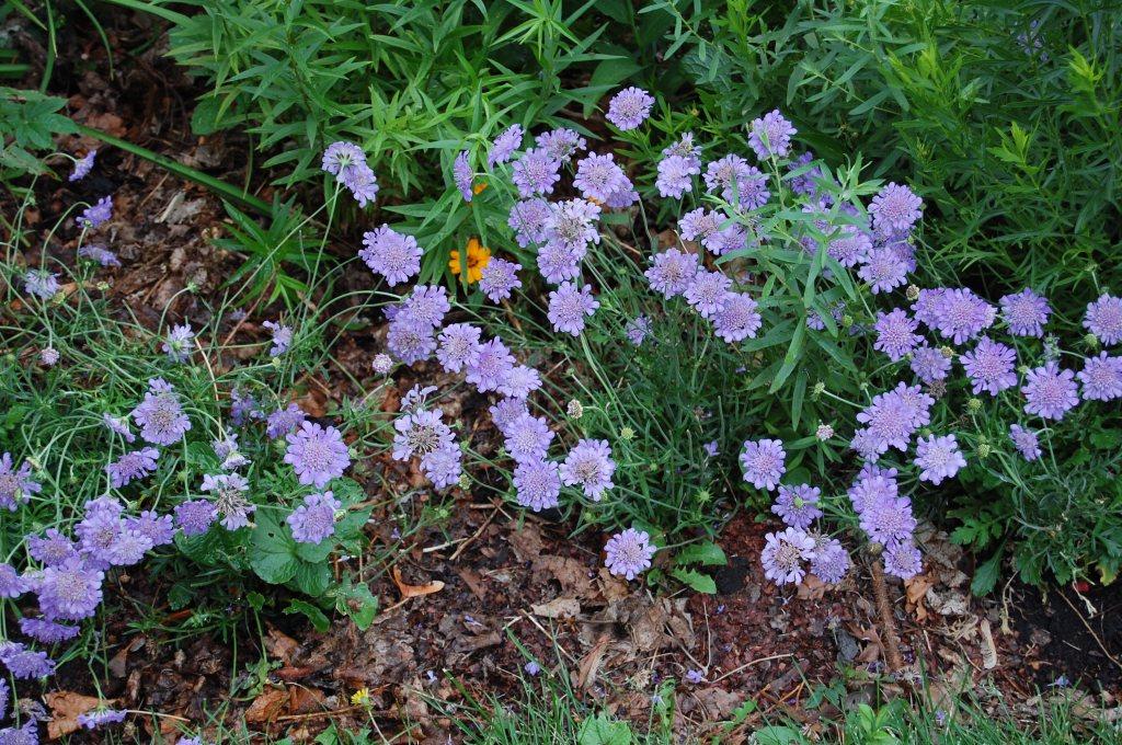 Scabiosa 'Butterfly Blue' (in)