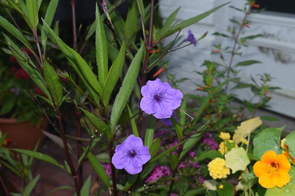 Mexican Petunia, Nasturtium, Lantana