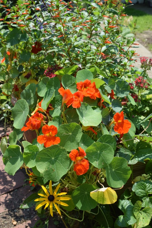 Nasturtium and Cigar Plant in a container.