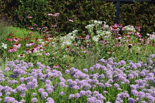 'Summer Beauty' Alliums at the Lurie Garden.