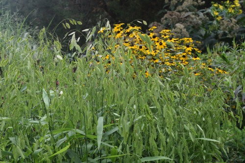 Brown-Eyed Susan peek out from behind a tall clump of Norther Sea Oats.