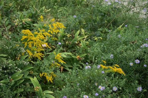 Aromatic Aster and Anise Scented Goldenrod. I have never found Aromatic Aster to be aromatic at all, but Anise Scented Goldenrod really is anise-scented.