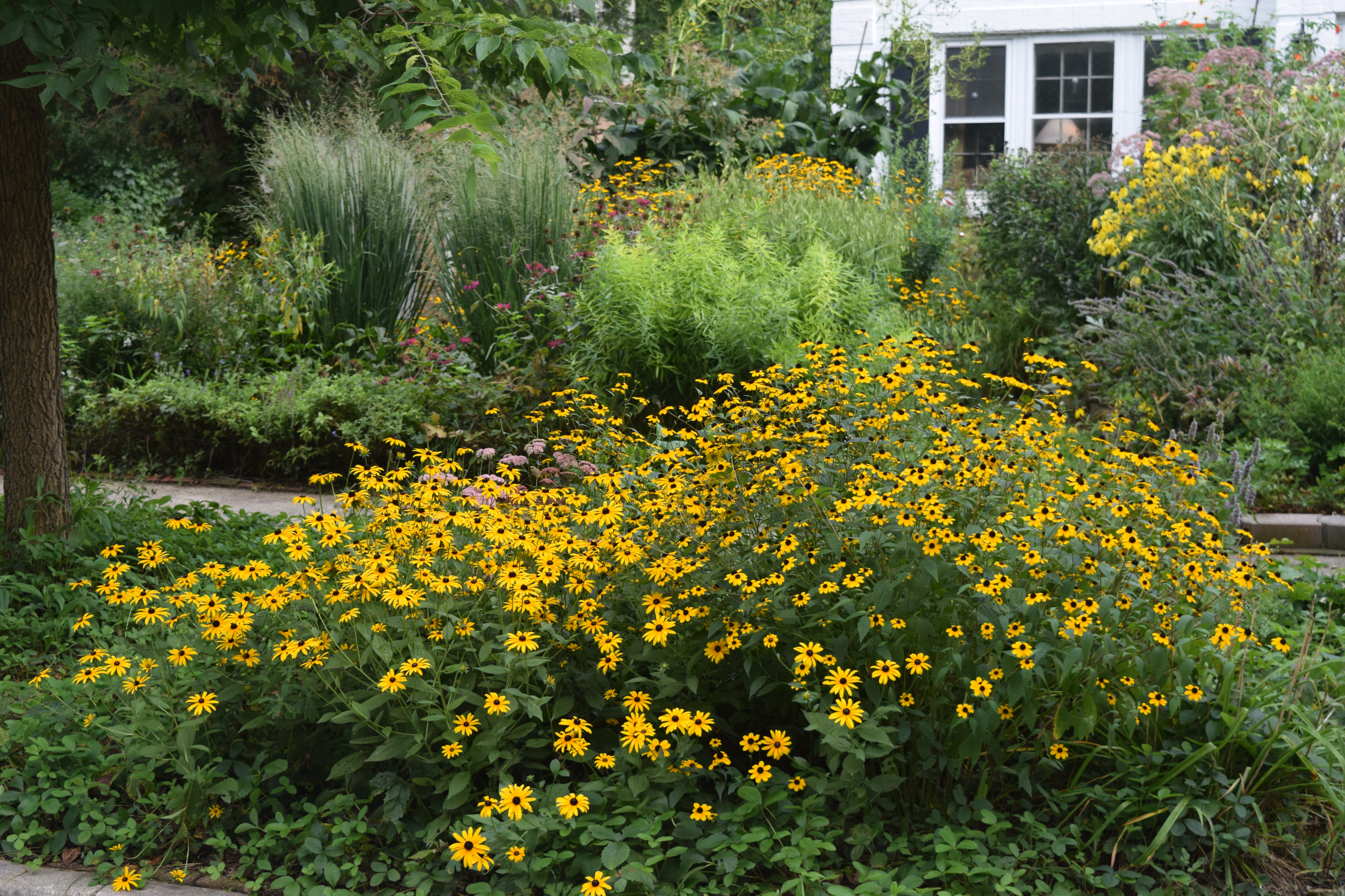 black eyed susan brown eyed susan and olof rudbeck the younger